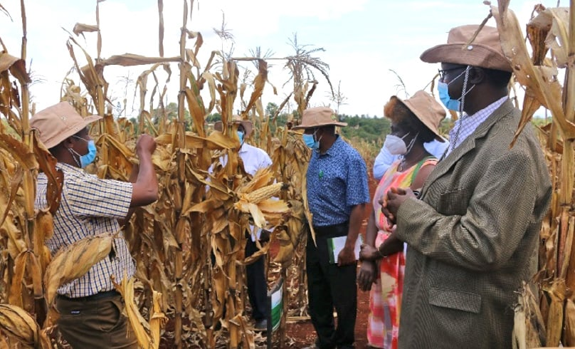 KEPHIS Board at KALRO Thika to Access NPT Trials of Bt Maize